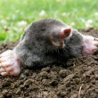 Stock Photo: Laughing mole