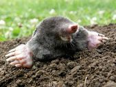 Laughing mole — Stock Photo