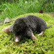 Mole on a moss — Stock Photo
