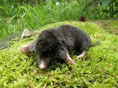 Mole on a moss — Stock Photo