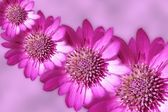 Pink strawflowers design — Stock Photo