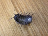 Pill bug - roly poly — Stock Photo