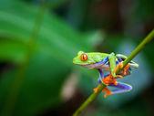 Red eye frog — Stock Photo