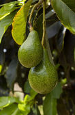 Avocado tree — Stock Photo