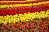 Colours of keukenhof — Stock Photo