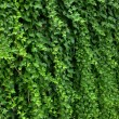 Hedge — Stock Photo