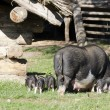 Pigs at farm — Stock Photo #21704867