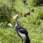 Gray crowned crane birds — Stock Photo #22486739
