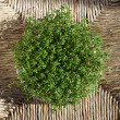 Cress - Foto de Stock  