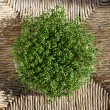 Cress - Stock Photo