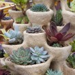 Stock Photo: Succulents