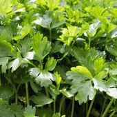 Parsley — Foto Stock