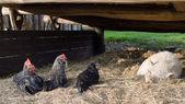 Free range farm animals — Stock Photo