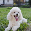 Stock Photo: Poodle