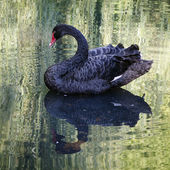 Balck swan — Stock Photo