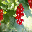 Redcurrant fruit — Stock Photo