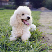 Poodle dog — Photo