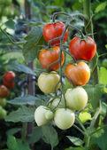 Tomatoes on vine — Stock Photo