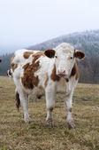 Krávy na pastvině — Stock fotografie