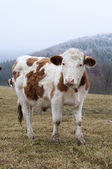 Mera inek — Stok fotoğraf