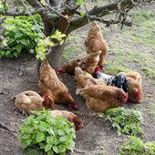 フリーレンジの鶏 — ストック写真