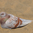 Pigeon Sand - Stock Photo