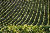 Vineyards near Bodensee - Germany — Foto Stock