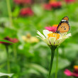Stock Photo: Orange Butterfly on Flower in Thailand.