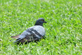 Pigeon on Grass in Thailand. — Stock Photo