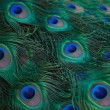Peacock — Stock Photo #22805898