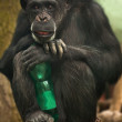 Chimpanzee with a bottle - Stock Photo