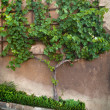 Vine and the wall — Stockfoto