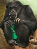 Chimpanzee with a bottle — Stock Photo