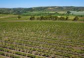 Vineyard — Stockfoto