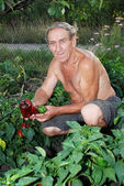Man shows fruit of the Bulgarian pepper on the patch — Stock Photo