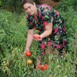 Woman collects ripe tomatoes — Stock Photo
