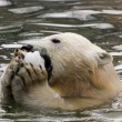 Stock Photo: Polar bear in water