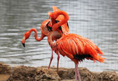 Pink flamingo is in the Zoo — Stock Photo