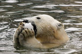 Polar bear in the water — Stock Photo