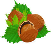 Hazelnuts with leaves — Stock Vector
