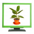 Ficus in a pot on the monitor screen — Stok fotoğraf