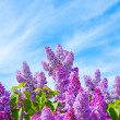 Stock Photo: Lilac bush on background of blue sky