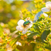 Chafer beetle on a flower apple tree — Stock Photo