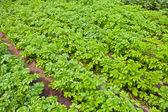 Fundo de campo de batata — Foto Stock