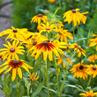 Rudbeckia hirta in the garden — Stock Photo