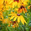 Rudbeckia hirta in the garden — Foto Stock