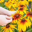 A woman plucks petals Rudbeckia hirta — Stock Photo