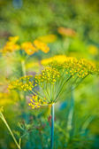Flowering dill in the garden — Stock Photo