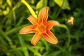 Tiger lily in the garden — Stock Photo