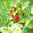 Red currant on a bush — Stock Photo